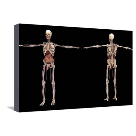 3D Rendering of Human Skeleton with Internal Organs Stretched Canvas Print Wall Art By Stocktrek