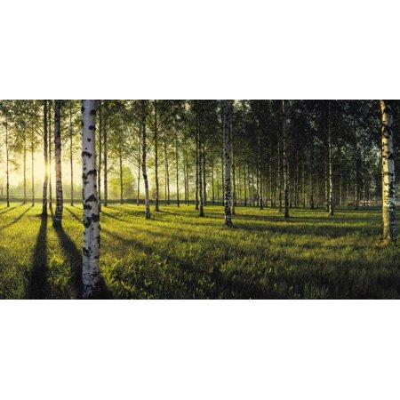 Birch trees by the Vuoksi River, Imatra, Finland Print Wall Art ()