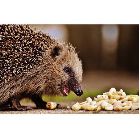 LAMINATED POSTER Spur Hedgehog Child Animal Hedgehog Young Hedgehog Poster Print 24 x (24 Hedgehog)