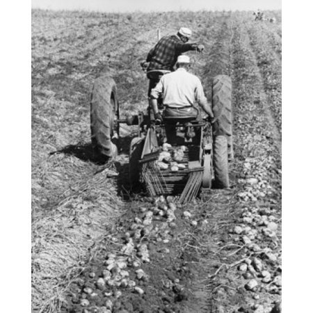 Rear view of two farmers digging potatoes in a field with a tractor Poster Print