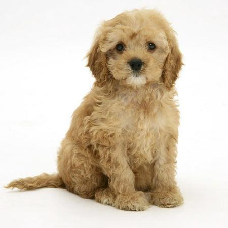 American Cockerpoo (American Cocker Spaniel X Poodle Cross) Puppy, 8 Weeks, Sitting Print Wall Art By Mark (Cavalier X Cocker Spaniel Puppies For Sale)