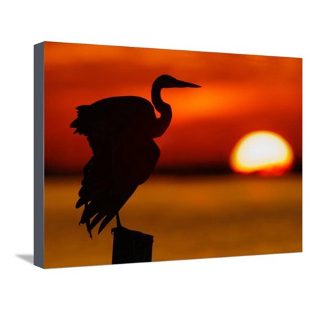 Silhouette of Great Blue Heron Stretching Wings at Sunset, Fort De Soto Park, St. Petersburg Stretched Canvas Print Wall Art By Arthur (Fort De Soto Park St Petersburg Fl)