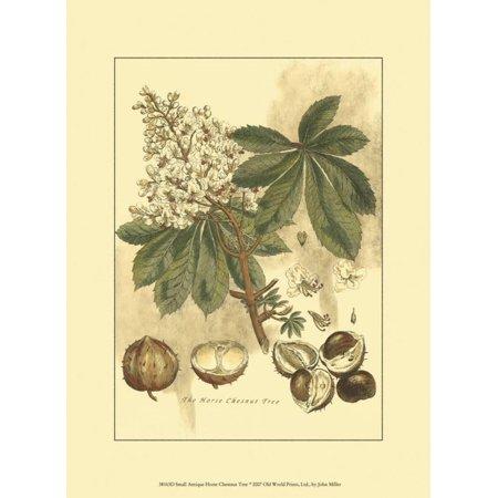 Antique Horse Chestnut Tree Art Print - 9.5x13