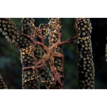 Basket Star feeding at night Bonaire Caribbean Netherlands Stretched Canvas - Terry MooreStocktrek Images (35 x 23)