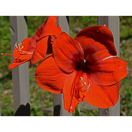 - LAMINATED POSTER Bloom Red-hot Amaryllis Blossom Plant Bulb Flower Poster Print 24 x 36
