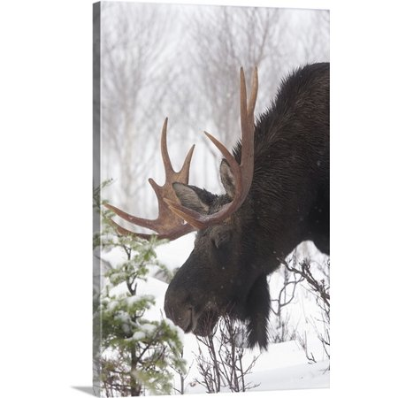 Great BIG Canvas Philippe Henry Premium Thick-Wrap Canvas entitled Male Moose Grazing In Winter, Gaspesie National Park, Quebec, -