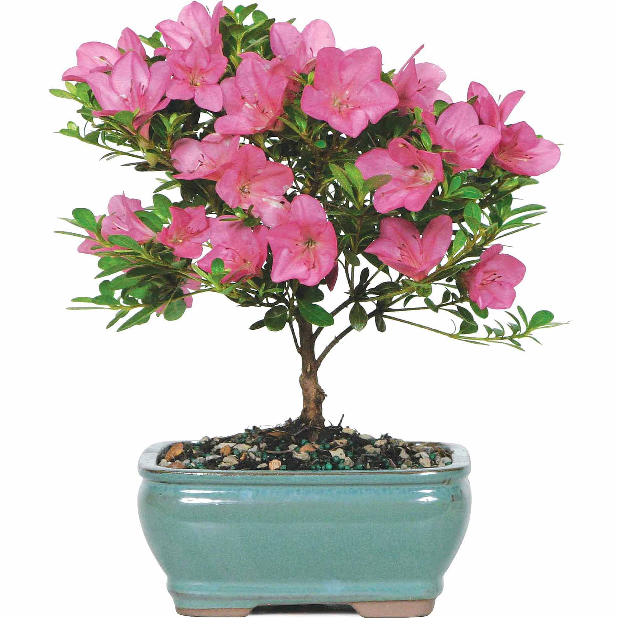 Brussel's Satsuki Azalea Bonsai Small (Outdoor) by Brussel's Bonsai