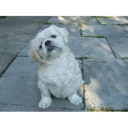 Peel N Stick Poster Of Pets Dogs Pet Shih Tzu Dog Breed Pedigree
