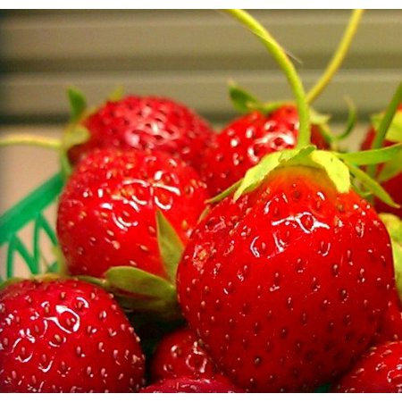Mara Des Bois French Everbearing Strawberry 10 Plants - BEST FLAVOR! - Bare