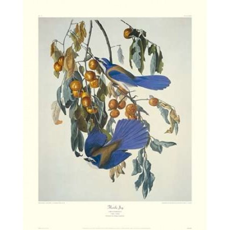 Florida Jay Poster Print By  John James Audubon