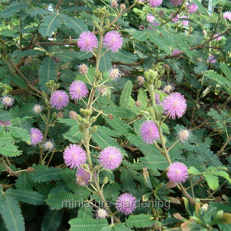 Winter Greenhouse Mimosa pudica, Fairy Sensitive Plant