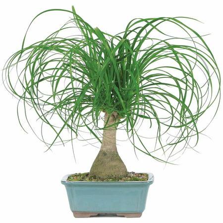 Brussel's Ponytail Palm Bonsai - Medium - (Indoor)