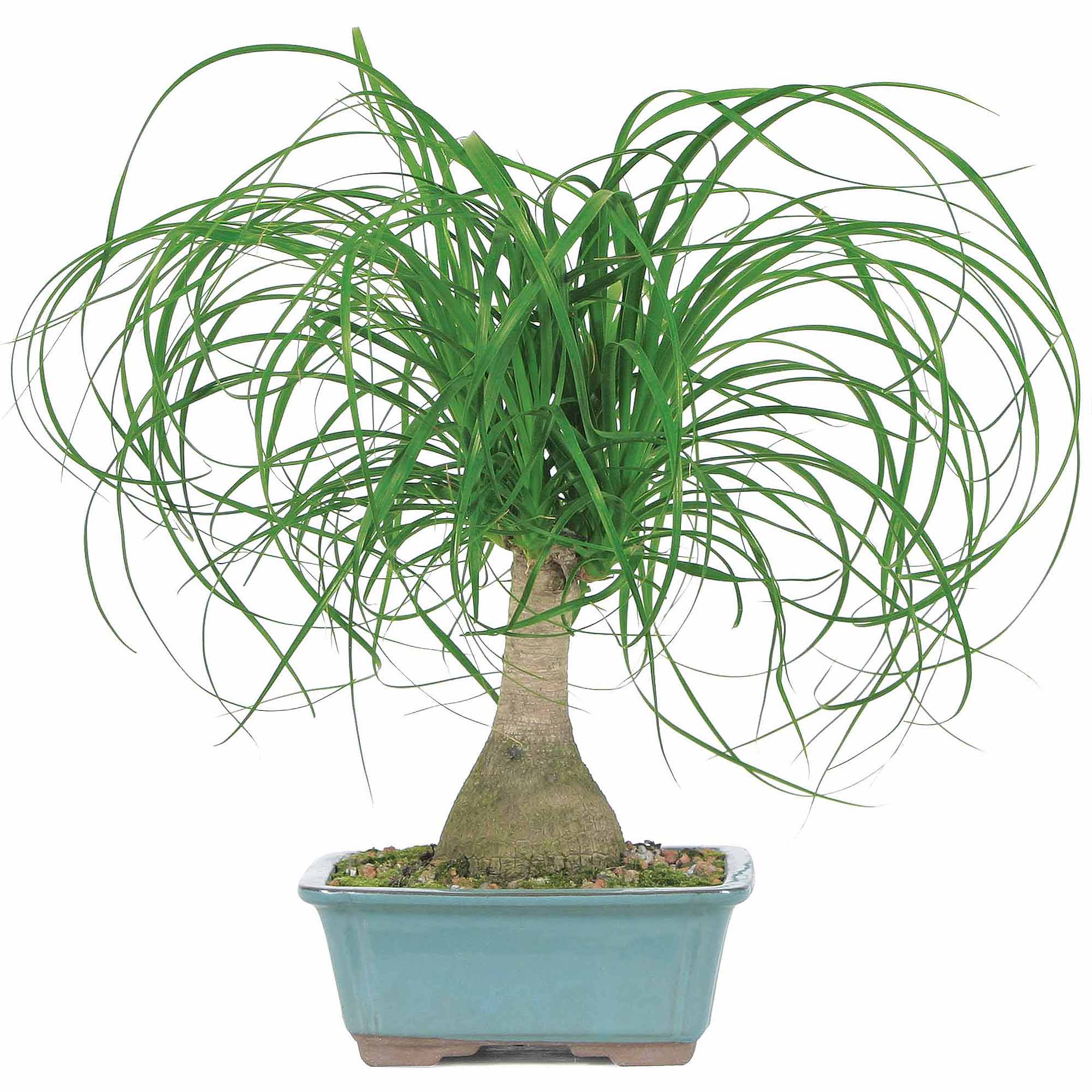 Brussel's Ponytail Palm Bonsai - Medium - (Indoor)