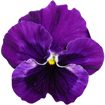 LAMINATED POSTER Bloom Blue Spring Purple Pansy Flower Blossom Poster Print 24 x 36