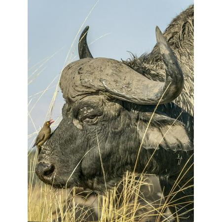 Chobe River, Botswana, Africa. A Cape Buffalo endures the presence of a Red-billed Oxpecker. Print Wall Art By Karen Ann