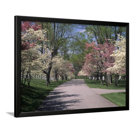 Pink And White Dogwood Trees In Bloom Along A Fenced Road Lexington Kentucky Usa Framed Print Wall Art By Adam Jones