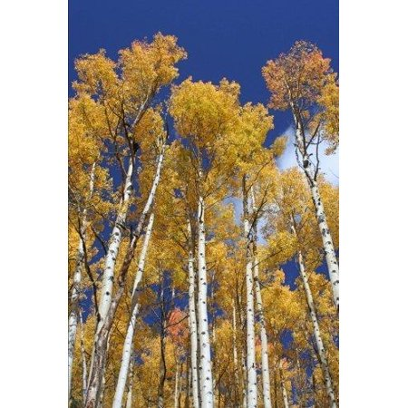 Aspen Trees in Colorado Journal: 150 Page Lined Notebook/Diary