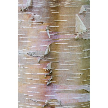 Birch Bark, Fine Art Photograph By: Kathy Mahan; One 24x36in Fine Art Paper Giclee Print - Birch Bark Paper