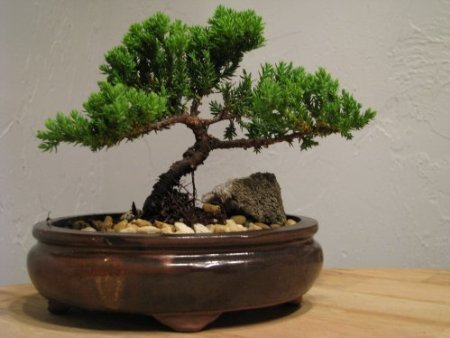 9GreenBox Juniper Tree Bonsai Best Gift by 9GreenBox