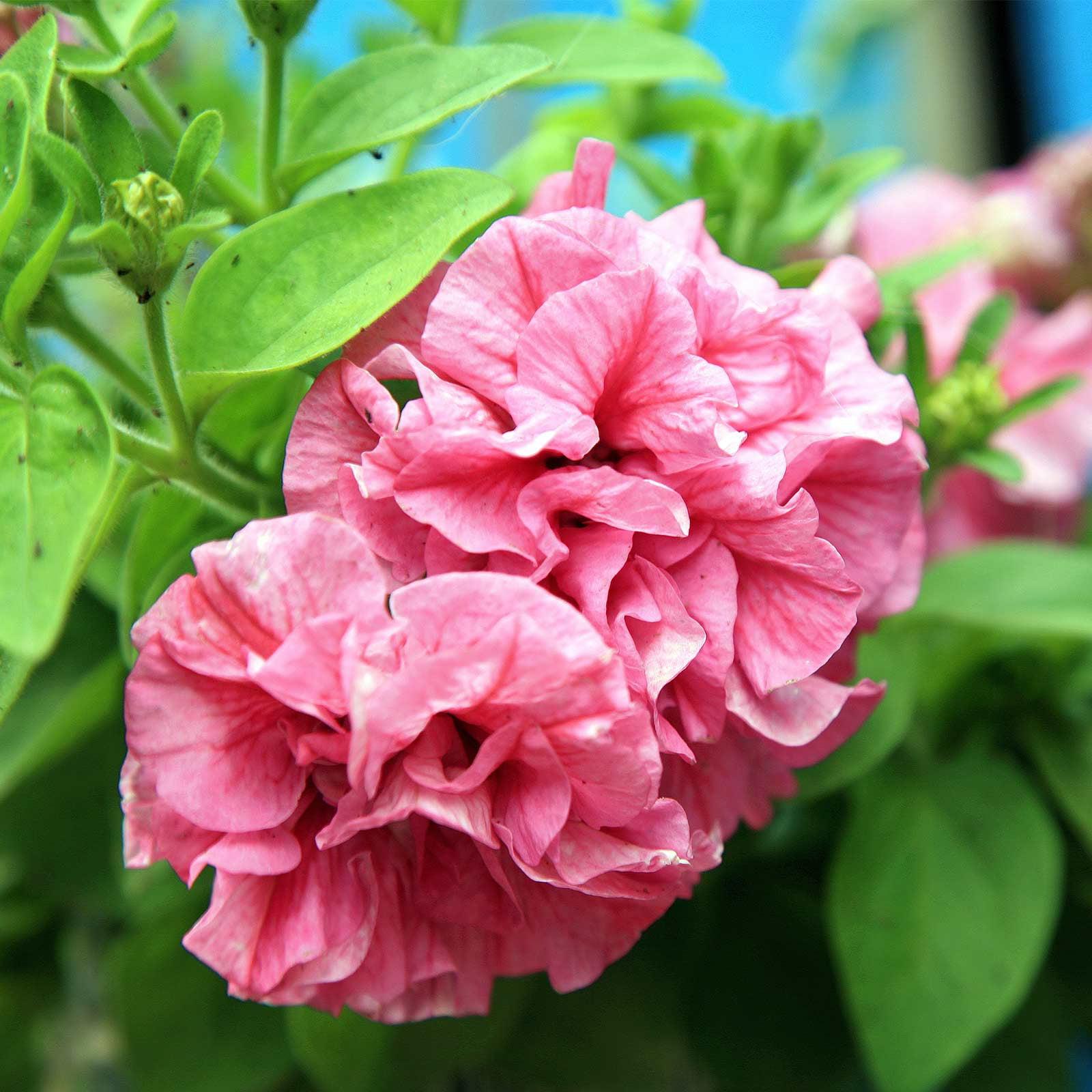 Petunia - Double Cascade Series Flower Garden Seed - 1000 Pelleted ...