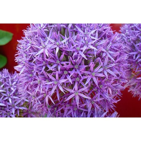 Laminated Poster Lila Purple Garten Blume Flower Natur Close Up