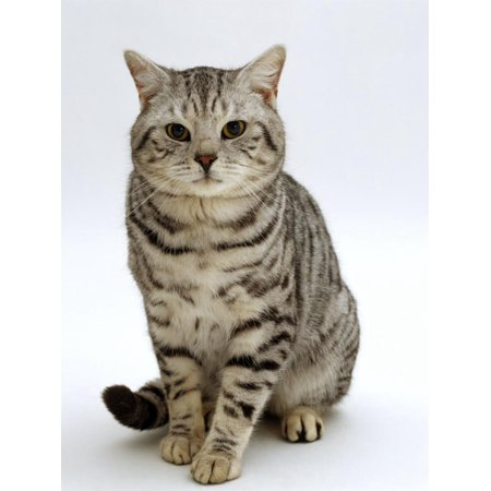 - Domestic Cat, British Shorthair Silver Spotted Tabby Male Print Wall Art By Jane Burton