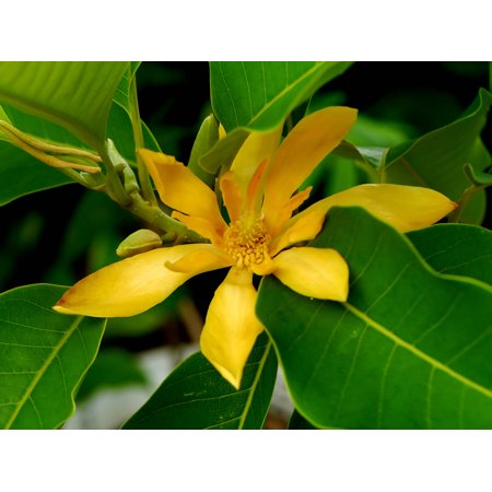 5 Seeds- Joy Perfume Tree- RARE Magnolia Family -Stunning Orange Blossom- Aromatic Blooms all Year -Tropical Container Gardening- Michelia Champaca Blooming Pear Tree