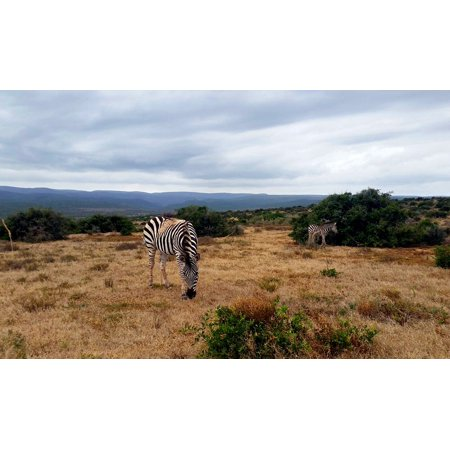 LAMINATED POSTER National Park Zebra Steppe South Africa Safari Poster Print 24 x