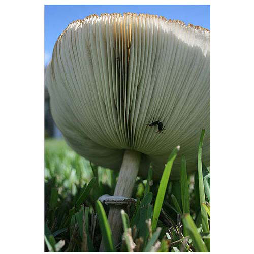 "Trademark Fine Art ""Mushroom"" Canvas Art by Patty Tuggle, 12x18"