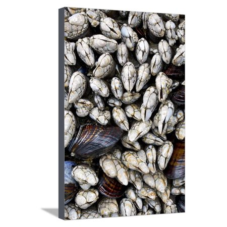 Washington, Olympic National Park. Gooseneck Barnacles and Clams Stretched Canvas Print Wall Art By Jaynes Gallery