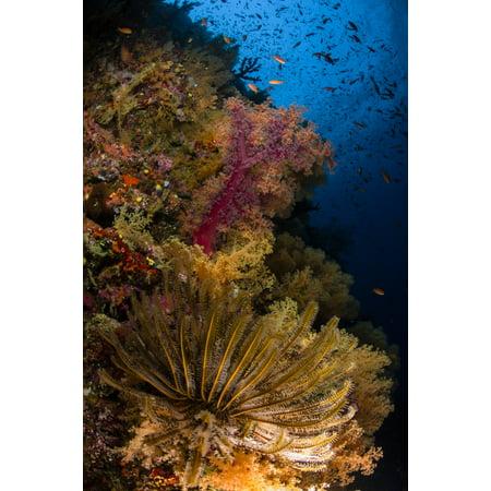 Crinoid and soft coral Fiji Canvas Art - Todd WinnerStocktrek Images (23 x 35)