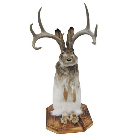 100% Genuine Taxidermy Life Size Jackalope Mount Real Authentic 8 Point  Antlers