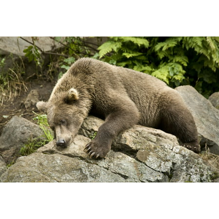 Brown Bear Resting On A Rock In The Sun At Big River Lakes Near Wolverine Creek In Southcentral Alaska During Summer Canvas Art - Jim Kohl  Design Pics (17 x