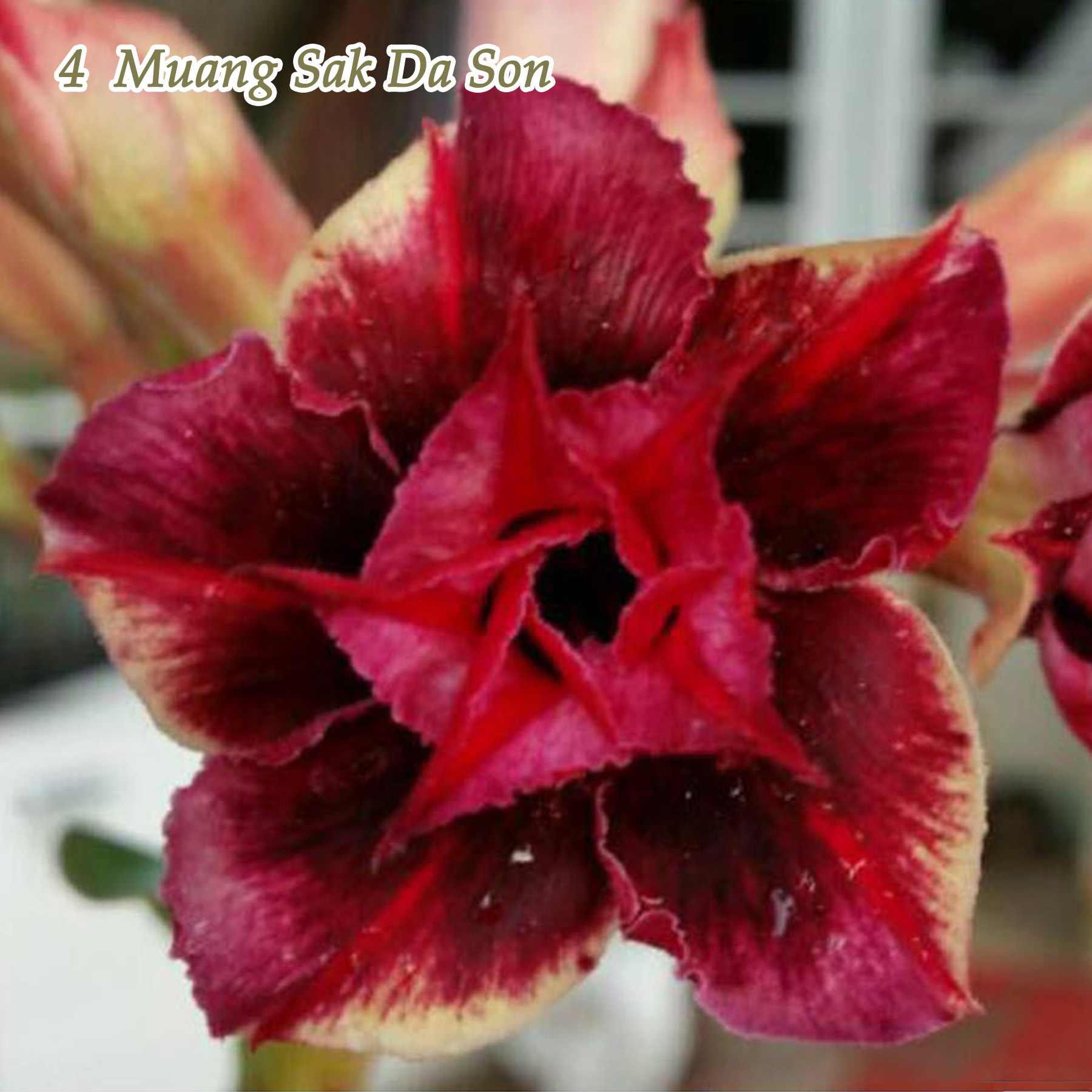 Adenium Obesum Desert Rose Plants New Hybrids Double-flowered Easy Care Bonsai
