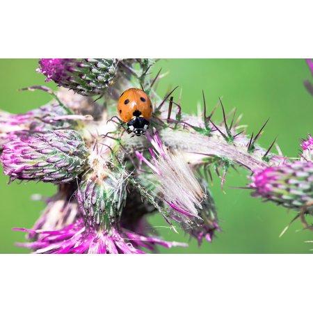 LAMINATED POSTER Coccinellidae Beetle Siebenpunkt Ladybird Ladybug Poster Print 24 x 36