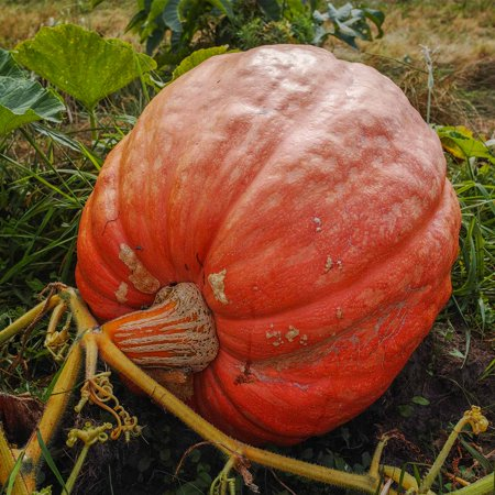 Competition Pumpkin Seeds - Grow Giant Pumpkins - 400 Lbs Plus - 7 Pumpkin Garden Seeds