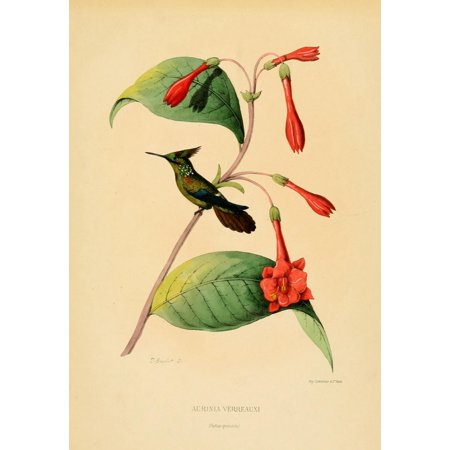 L  Bevalet Stretched Canvas Art   Oiseau Mouches 1874 Aurinia Verreauxi   Medium 18 X 24 Inch Wall Art Decor Size