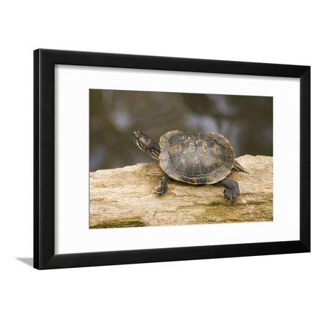 Red Eared Slider Turtle Framed Print Wall Art By Hal Beral Red Eared Sliders Turtles