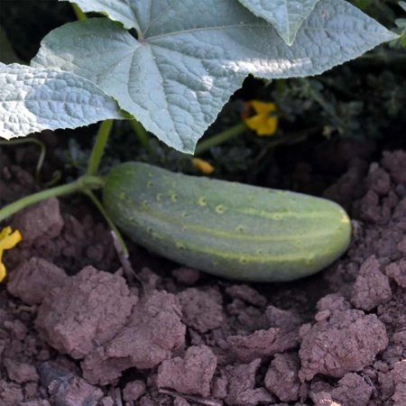Wisconsin SMR Pickling Cucumber Seeds - 1 Oz - Non-GMO, Heirloom Vegetable Gardening Seed - Ideal for Dill - Cucumber Dill