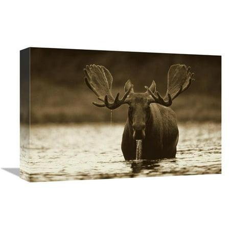 12 x 18 in. Moose Male Raising Its Head While Feeding on the Bottom of A Lake, North America Art Print - Tim Fitzharris ()