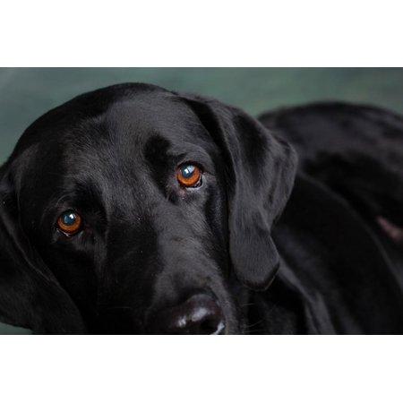 Portrait of a Labrador Great Dane Mixed Dog Print Wall