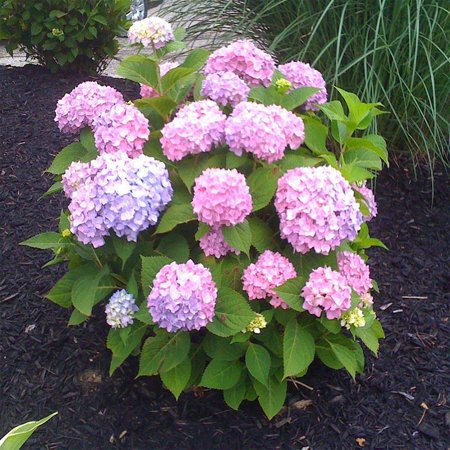 All Summer Beauty Mophead Hydrangea, Blue or Pink Flowers ...