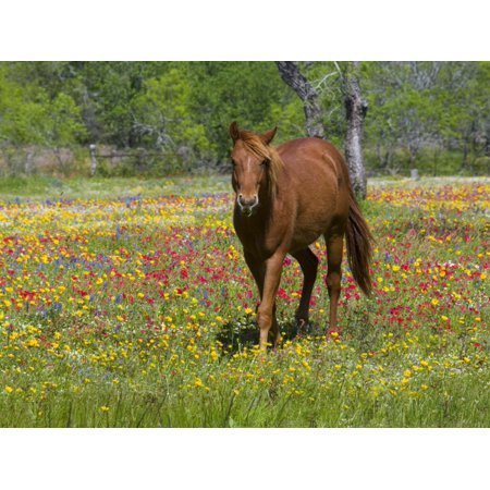 Quarter Horse in Wildflower Field Near Cuero, Texas, USA Print Wall Art By Darrell (Kid Friendly Horses For Sale In Texas)