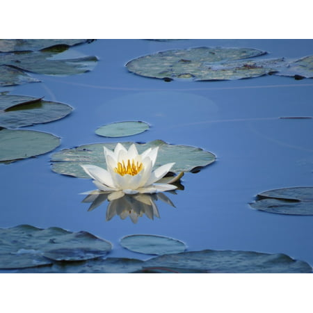 Canvas Print Lilly Pad Water Flower Green Water Waterlily Stretched Canvas 10 x 14