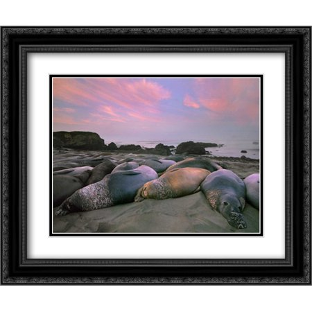 Northern Elephant Seals, Point Piedra Blancas, California 2x Matted 24x20 Black Ornate Framed Art Print by Fitzharris, Tim