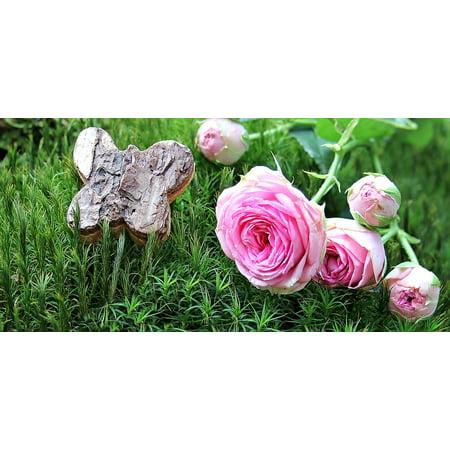 H&c Moss Rose (Canvas Print Moss Bush R???schen Bush Florets Pink Rose Pink Rose Stretched Canvas 10 x 14 )