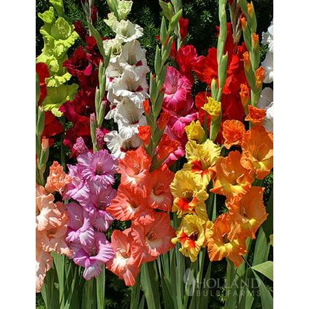Mixed Gladiolus Value Bag