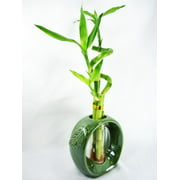 Lucky Bamboo Plants on lucky bamboo plants for vases, lucky bamboo plants indoor, lucky bamboo heart plants, lucky bamboo plants in aquarium, lucky bamboo house plants, indoor bamboo plant sale, lucky bamboo plants design,