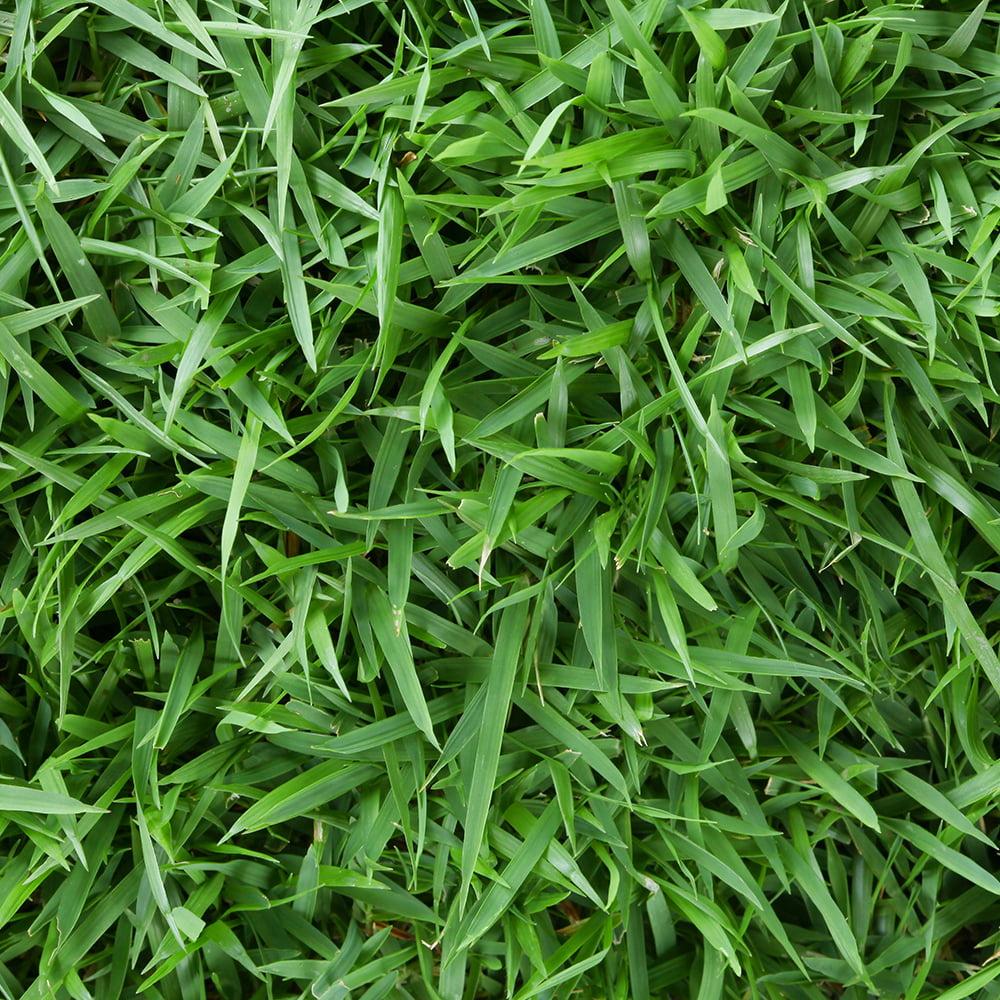 "Zoysia 3"" Grass Plugs, 36 count"