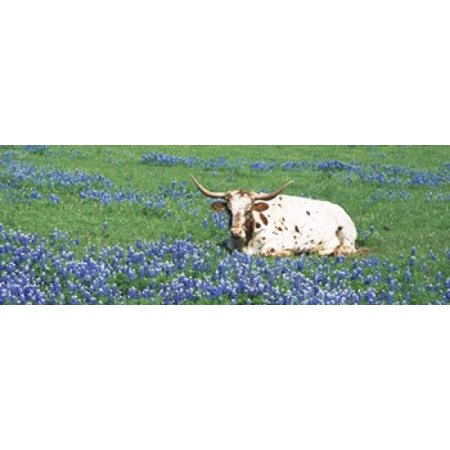 - Texas Longhorn Cow Sitting On A Field Hill County Texas USA Canvas Art - Panoramic Images (36 x 13)